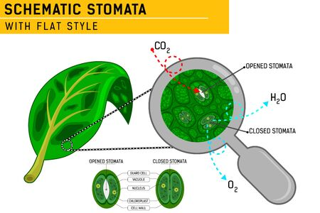 Magnified leaf stomata with schematic stomata open and closed. Vector ilustration for web design, ui, ux, mobile app on isolated on white background. Flat design for education purposes and other  イラスト・ベクター素材