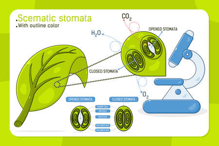 Magnified leaf stomata with schematic stomata open and closed, vector ilustration for web design, ui, ux, mobile app on isolated on white background. Flat color design for education purposes and other 向量圖像