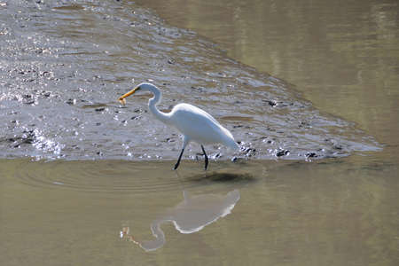 Egret catching a fish on menacing looking sand flats photo