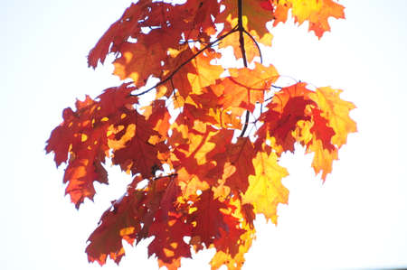 russet: Backlit Autumn leaves against a white background.