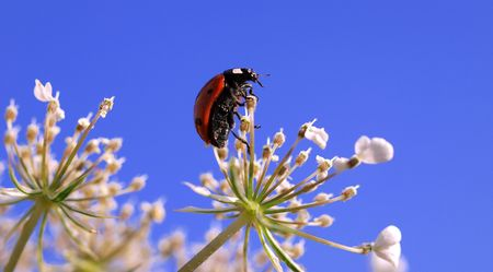 Ladybug on top of a blossom photo