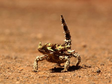 defiant: thorny devil Stock Photo