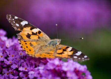 sustenance: butterfly sitting on a buddleiabutterfly bush