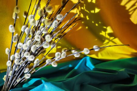 A bunch of willow on a background of yellow and turquoise velvet. Background for a palm Sunday greeting card.