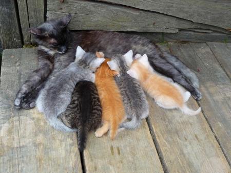 breastfeed: Gatos Foto de archivo