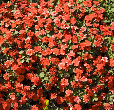 impatiens: Red balsam (Impatiens walleriana), big flowerbed with many flowers.