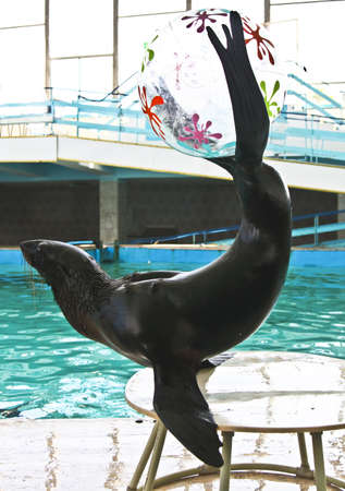 trained: Trained sea lion on show, recorded in dolphinarium in town Jevpatoria in Crimea.