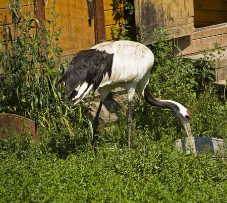 crus: Japanese (Manchurian) crane (Crus Japonensis), drinking water from pot near house. Lives in Korea, China, Japan, Far East. Stock Photo