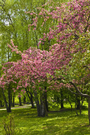 Spring landscape - park, branches of pink cherry tree in blossom and other trees. Stock Photo - 12019156