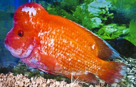 cichlasoma: Tropical fish cichlasoma citrinellum, recorded in aquarium in town Yalta. Stock Photo