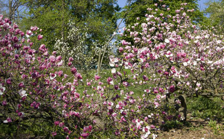 Pink magnolia tree in blossom. Recorded in Botanic gardens in Kiev, Ukraine. Stock Photo - 12239385