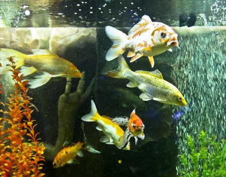coi: Fishes carp coi (cyprinus carpio linnacus), recorded in aquarium in town Yevpatoria in region Crimea.