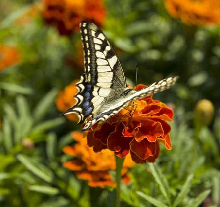 papilio: Butterfly papilio machaon on marigold flower.