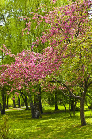 Pink cherry tree in blossom in park  Stock Photo - 12474442