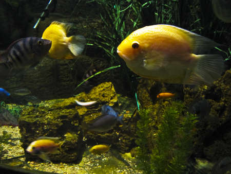 cichlasoma: Tropical fish yellow cichlasoma. Recorded in aquarium. Stock Photo