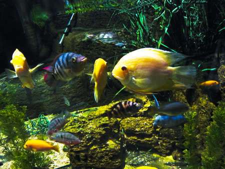 Tropical fishes yellow cichlasoma  Recorded in aquarium  photo