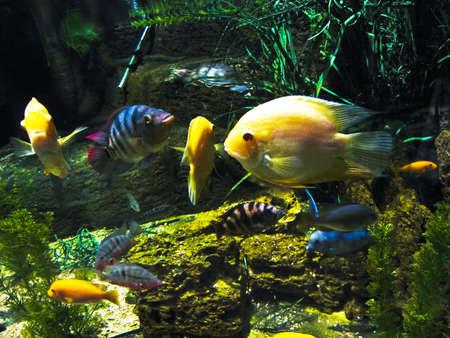 cichlasoma: Tropical fishes yellow cichlasoma  Recorded in aquarium  Stock Photo