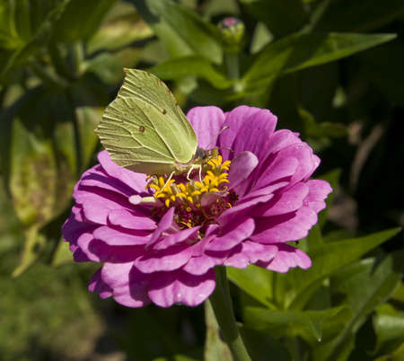 Brimstone butterfly (Gonepteryx rhamni) on dahlia flower, lives in Europe. photo