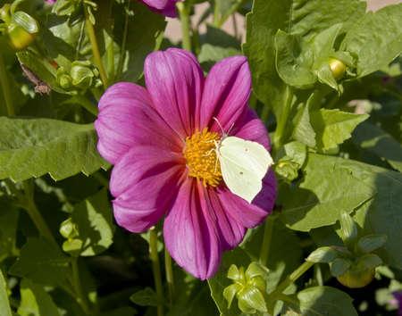 gonepteryx: Brinstone butterfly  Gonepteryx rhamni  on pink dahlia flower  Stock Photo