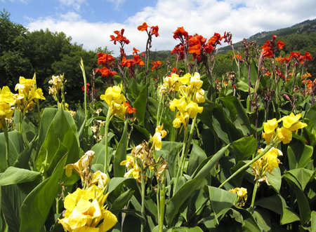 Flowerbed with red and yellow canna flowers Stock Photo - 12831234