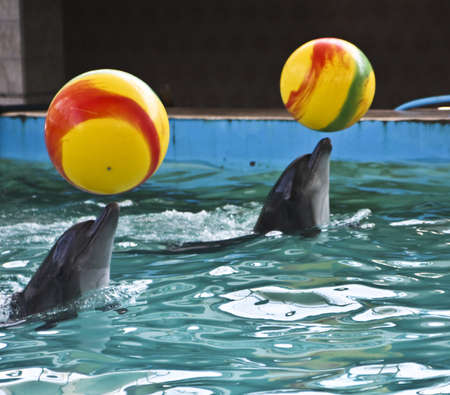 dolphinarium: Two delphins with yellow balls, recorded in dolphinarium in town Yevpatoria in Crimea