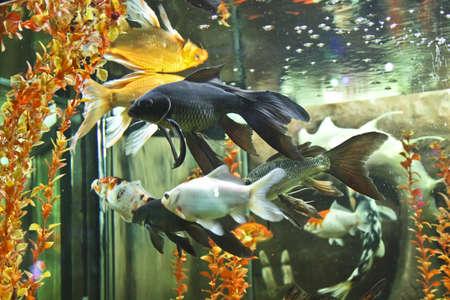 coi: Fishes carp coi, recorded in aquarium in town Jevpatoria in Crimea.