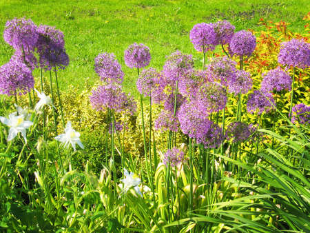 Flowerbed with purple flowers of decorative onion. photo