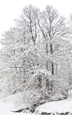 Winter landscape - big tree with snow-covered tree, vertical image  photo