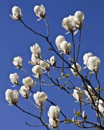 Few flowers of white magnolia on branch on blue sky. Stock Photo - 12899925