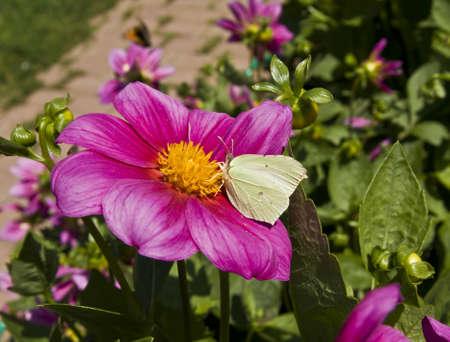 gonepteryx: Brimstone butterfly (gonepteryx rhamni) on pink dahlia.