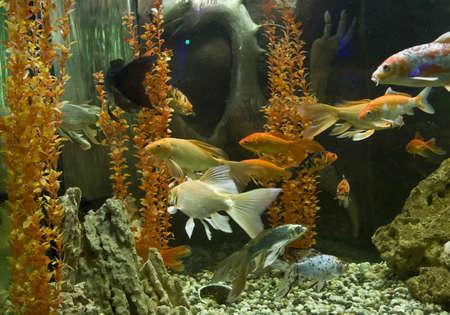 coi: Carp coi (latin name cyprinus carpio linnacus), recorded in aquarium in town Yevpatoria in region Crimea.