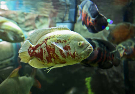 ocellatus: Tropical fish Astronotus ocellatus, recorded in aquarium in town Yevpatoria in Crimea. Stock Photo