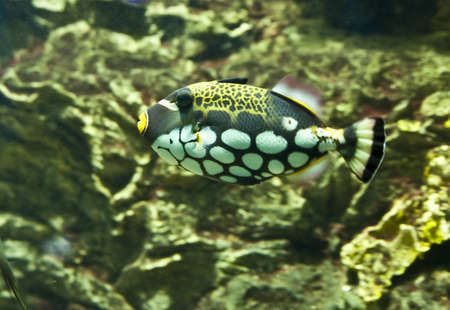triggerfish: Tropical fish clown triggerfish