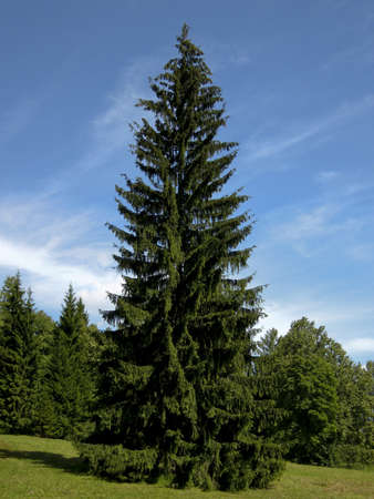Summer landscape with big fir tree on blue sky, forest around.