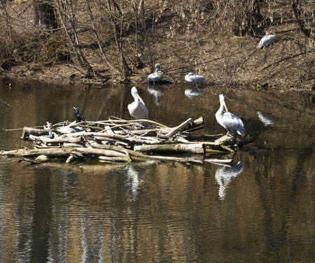 Pelicans sitting on nest on water, spring. Recorded in Moscow zoo. Stock Photo - 12955734