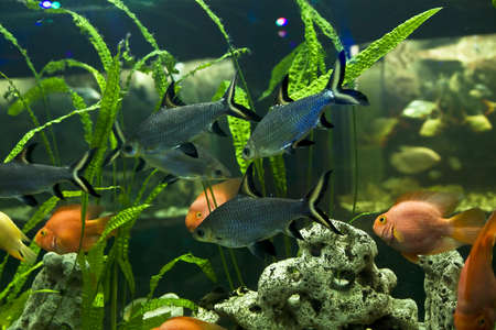 cichlidae: Tropical fish Balamtiocheilus melanopterus, cichlidae family, lives in Tauland and South-Eastern Asia, recorded in aquarium in town Yevpatoria in Crimea. Stock Photo