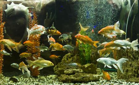 coi: Tropical fishes Carp coi  cyprinus carpio linnacus , recorded in aquairum in town Yevpatoria in region Crimea  Stock Photo