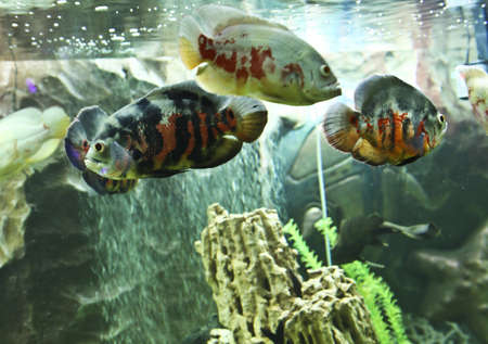ocellatus: Tropical fish astronotus ocellatus, recorded in town Yevpatoria in region Crimea on Black sea.