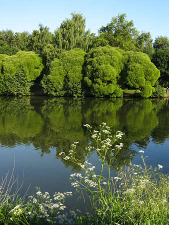 Summer water landscape: lake, willow trees and white wild\ flwoers on banks, reflection in water, vertical view. Recorded in\ Izmaylovskiy park in Moscow.