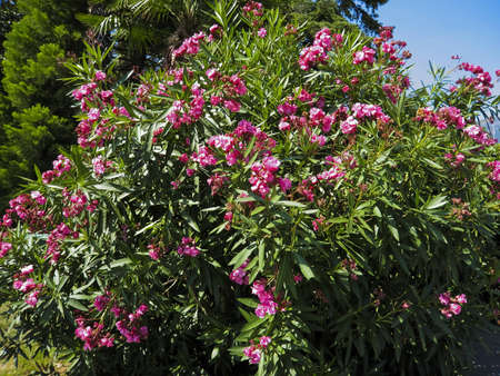 Shrub of pink oleander in blossom with flowers. photo