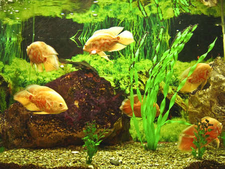 Few tropical fishes yellow cichlasoma, recorded in aquarium. photo