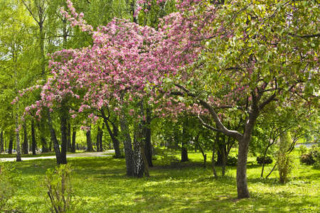 Spring landscape - pink cherry tree in blossom in garden. Stock Photo - 12956371