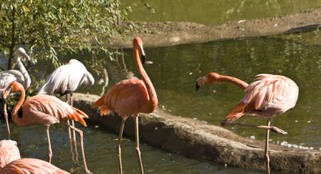 Few pink and white flamingo on water of lake, recorded in Moscow zoo. Stock Photo - 12959486