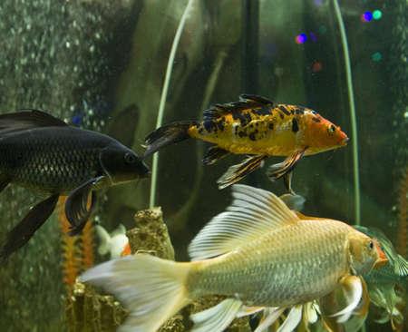 coi: Tropical fish carp coi (cyprinus carpio linnacus), recorded in aquarium in town Yevpatoria in Crimea.