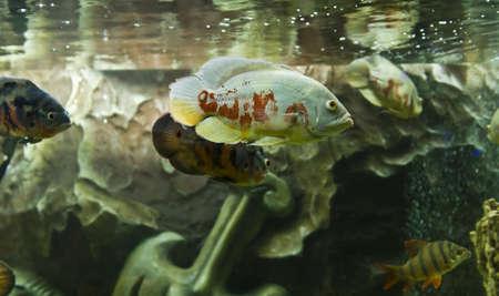 astronotus: Tropical fish astronotus ocellatus, recorded in aquarium in town Yevpatoria in Crimea.
