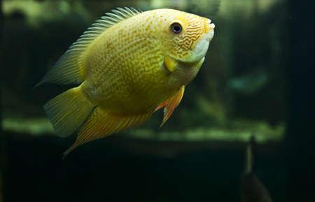 cichlasoma: Tropical fish cichlasoma salvini, lives in South America, recorded in aquarium in town Yevpatoria in Crimea. Stock Photo