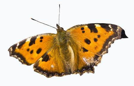 nymphalis: Orange butterfly tortoiseshell nymphalis  Aglais urtical  isolated on white background