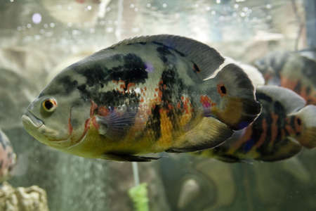 Tropical fish astronotus ocellatus, recorded in aquarium in town Yevpatoria in region Crimea. photo