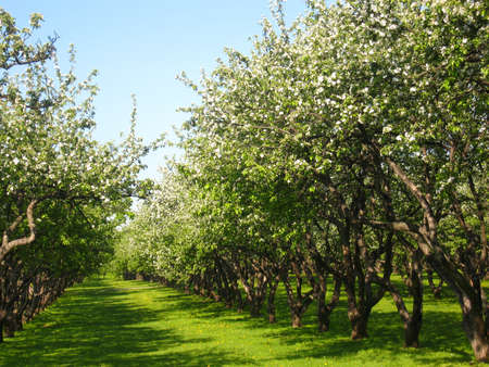 Spring landscape - apple garden in blossom, recorded in park Kolomenskoye in Moscow. Stock Photo - 13179802