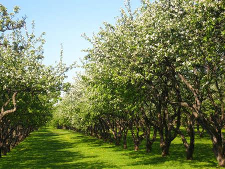 Spring landscape - apple garden in blossom, recorded in park Kolomenskoye in Moscow. Stock Photo - 13179802